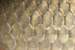 по мере того как предпосылка может польза маштабов рыб Стоковые Фотографии RF