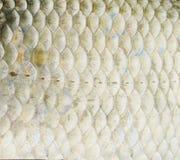 по мере того как предпосылка может польза маштабов рыб Стоковое Изображение RF