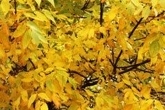 Полная листва желтого цвета падения - деревья золы Стоковая Фотография RF