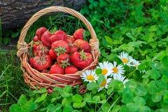 Полная корзина с свежими выбранными красными зрелыми клубниками Стоковое фото RF