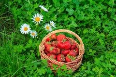 Полная корзина с свежими выбранными красными зрелыми клубниками Стоковые Фотографии RF