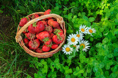Полная корзина с свежими выбранными красными зрелыми клубниками Стоковые Фото