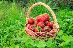 Полная корзина с свежими выбранными красными зрелыми клубниками Стоковое Фото