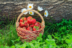 Полная корзина с свежими выбранными красными зрелыми клубниками Стоковое Изображение