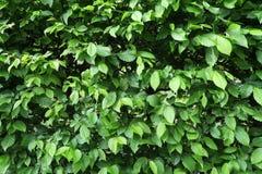Полная предпосылка рамки свежих зеленых листьев Стоковая Фотография