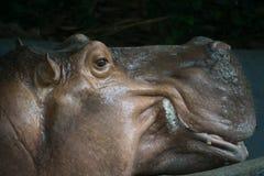 Поднимающее вверх бегемота близкое Стоковые Фото