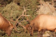Поднимающее вверх бой лося Bull близкое Стоковое фото RF