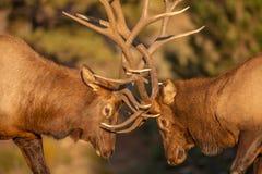 Поднимающее вверх бой лося Bull близкое Стоковое Изображение RF