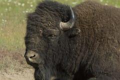 поднимающее вверх буйвола близкое Стоковые Изображения RF