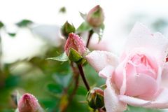 поднимающее вверх бутона близкое розовое розовое Стоковая Фотография