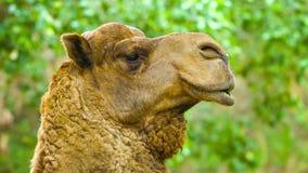Поднимающее вверх верблюда близкое видеоматериал