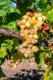 Поднимающее вверх виноградины близкое стоковая фотография rf