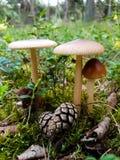 Поднимающее вверх гриба близкое, съемка природы Стоковое Изображение RF