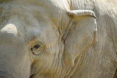 Поднимающее вверх глаза и уха Elefant близкое Стоковая Фотография RF