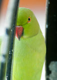 Поднимающее вверх глаза попугая одного близкое Стоковое Изображение