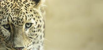 Поднимающее вверх леопарда близкое Стоковое Фото