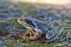 Поднимающее вверх жабы близкое Стоковые Изображения RF