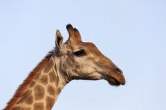 Поднимающее вверх жирафа близкое. Стоковое Фото