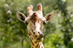 Поднимающее вверх жирафа близкое Стоковое Фото