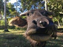 Поднимающее вверх индийского буйвола близкое Стоковое фото RF