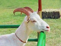 Поднимающее вверх козы близкое Стоковые Фотографии RF