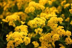Поднимающее вверх красивых желтых малых цветков близкое растет в саде внешнем Стоковые Изображения
