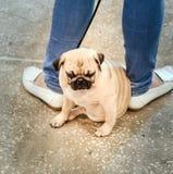 поднимающее вверх Мопс-собаки близкое Стоковые Фото