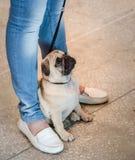 поднимающее вверх Мопс-собаки близкое Стоковое фото RF