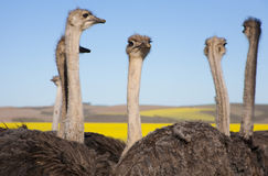 Поднимающее вверх страуса близкое, Южная Африка Стоковая Фотография