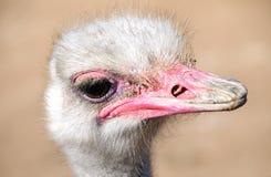Поднимающее вверх страуса близкое Стоковая Фотография RF