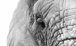 Поднимающее вверх слона близкое Стоковая Фотография