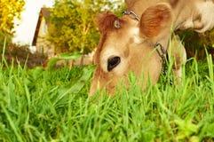 Поднимающее вверх травы еды коровы близкое Стоковые Фотографии RF