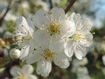 Поднимающее вверх цветения близкое, тычинки Стоковые Фотографии RF