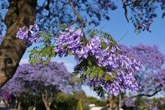 Поднимающее вверх цветения Jacaranda весной - близкое Стоковые Фото