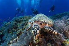 Поднимающее вверх черепахи близкое Стоковые Фото