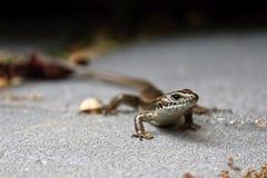 Поднимающее вверх ящерицы близкое Стоковая Фотография RF