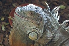 Поднимающее вверх ящерицы близкое Стоковые Изображения RF