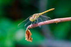 Поднимающее вверх Dragonfly близкое Стоковое Фото