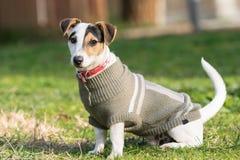 Поднимите портрет домкратом собаки терьера Рассела на парке Стоковая Фотография