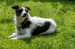 Поднимите собаку домкратом Рассела перекрестную лежа вниз обнюхивающ воздух Стоковые Изображения