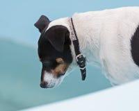 Поднимите собаку домкратом терьера Рассела на пляже в плавательном бассеине стоковое фото