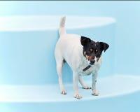 Поднимите собаку домкратом терьера Рассела на пляже в плавательном бассеине стоковые фотографии rf