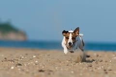 Поднимите собаку домкратом терьера Рассела скача на пляж Стоковые Изображения RF