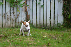 Поднимите собаку Рассела виновную для кормы или дерьма на траве и луг домкратом в парке outdoors Стоковое фото RF