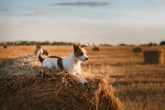 Поднимите терьера домкратом Рассела в поле на заходе солнца стоковое фото