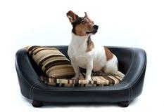 Поднимите терьера домкратом Рассела сидя на роскошной кровати собаки Стоковое Фото