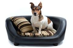 Поднимите терьера домкратом Рассела сидя на роскошной кровати собаки Стоковое Изображение RF