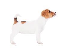 Поднимите щенка домкратом Рассела (1,5 месяцев старых) на белизне Стоковое Изображение