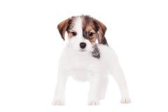 Поднимите щенка домкратом Рассела (1,5 месяцев старых) на белизне Стоковое фото RF