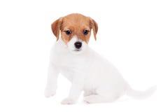 Поднимите щенка домкратом Рассела (1,5 месяцев старых) на белизне Стоковая Фотография